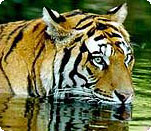 Ranthambore Tiger Tours India